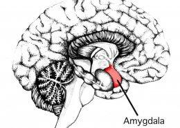 hvordan fungerer Amygdala?