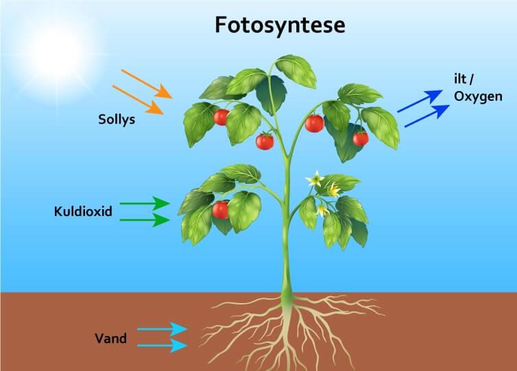 Hvordan fungere fotosyntesen? - Billede af planten